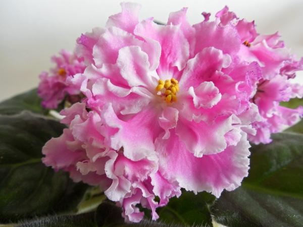 стилизована под ирландская роза фото фиалки пол-литра свежего