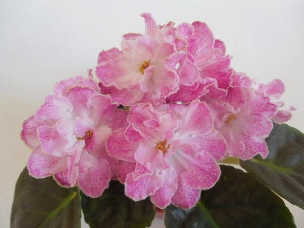Ле-марципановая роза фиалка фото